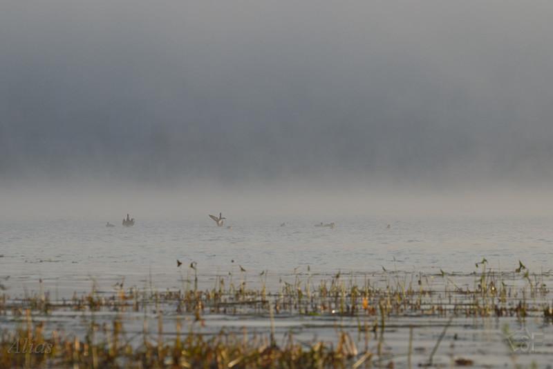 Утренний туман над Волгой и утки