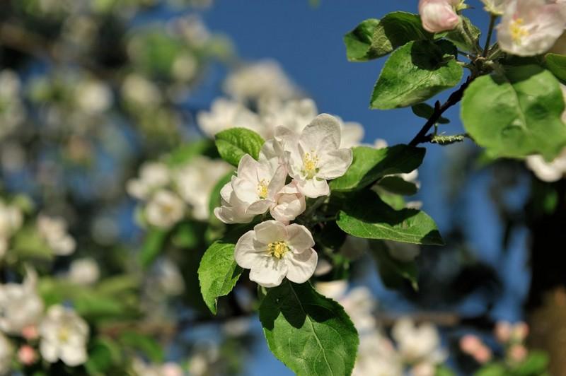 Цветущие ветки яблони